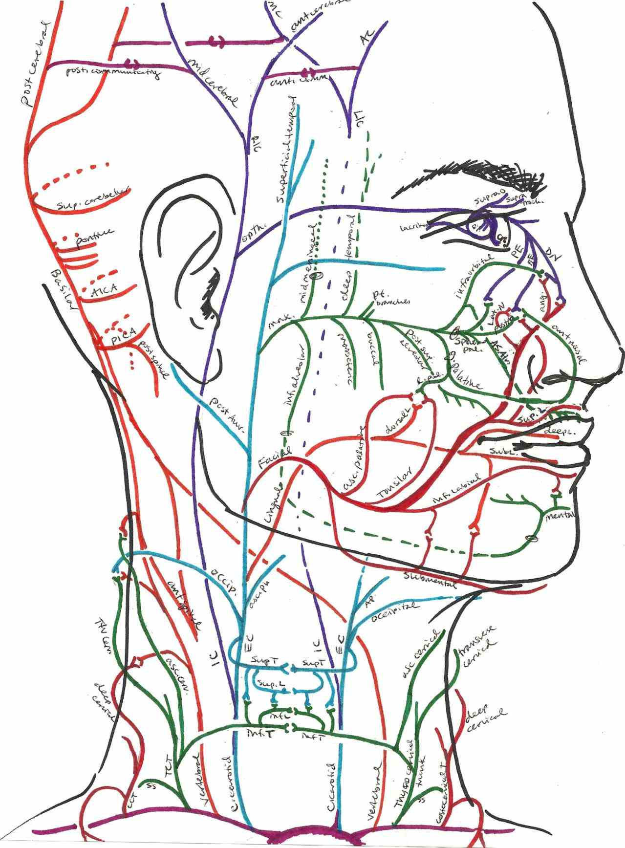 human head and neck muscle diagram labeled 1990 jeep wrangler wiring illustration pictures wallpapers