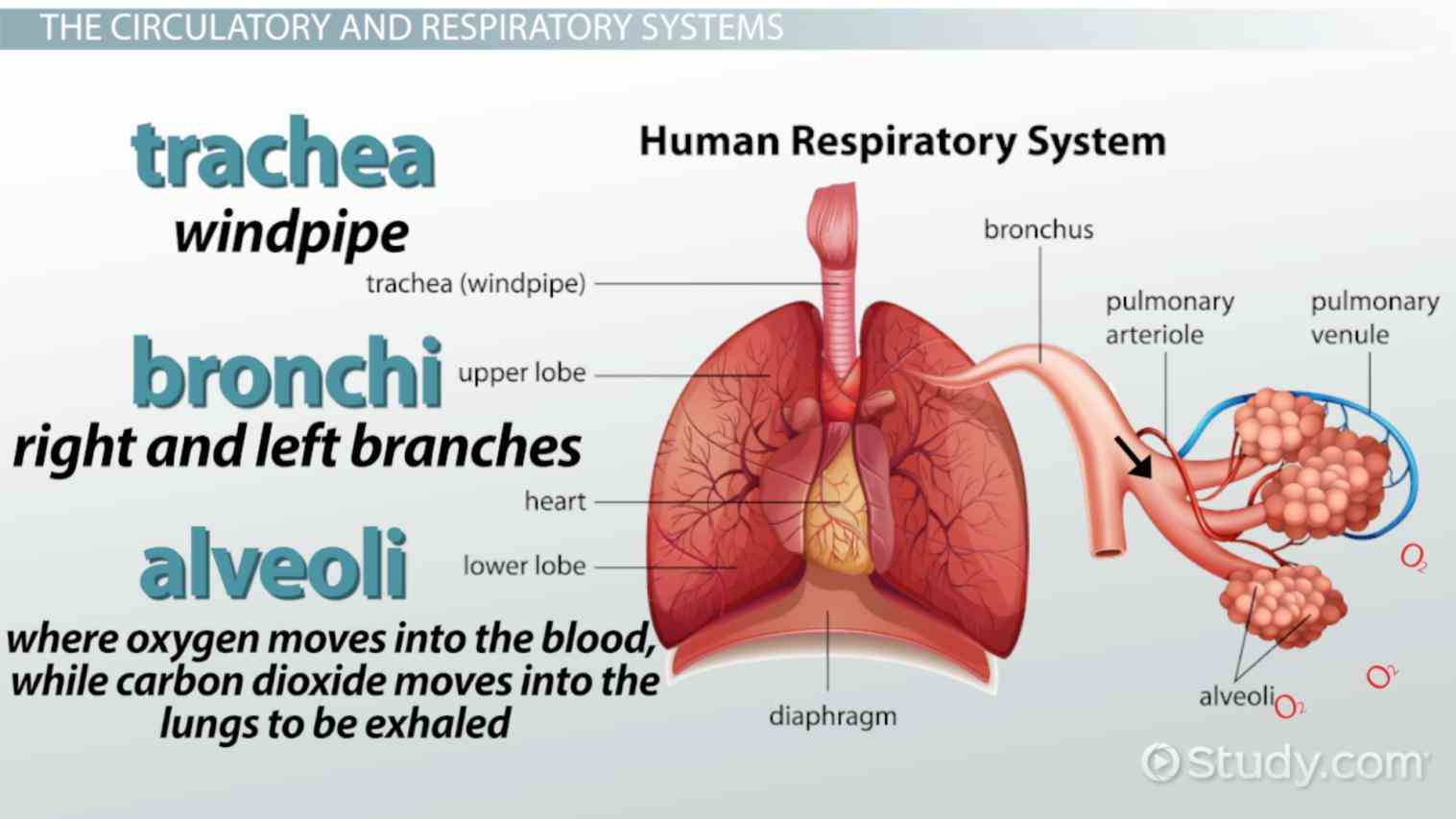 Parts Of The Respiratory System And Their Function