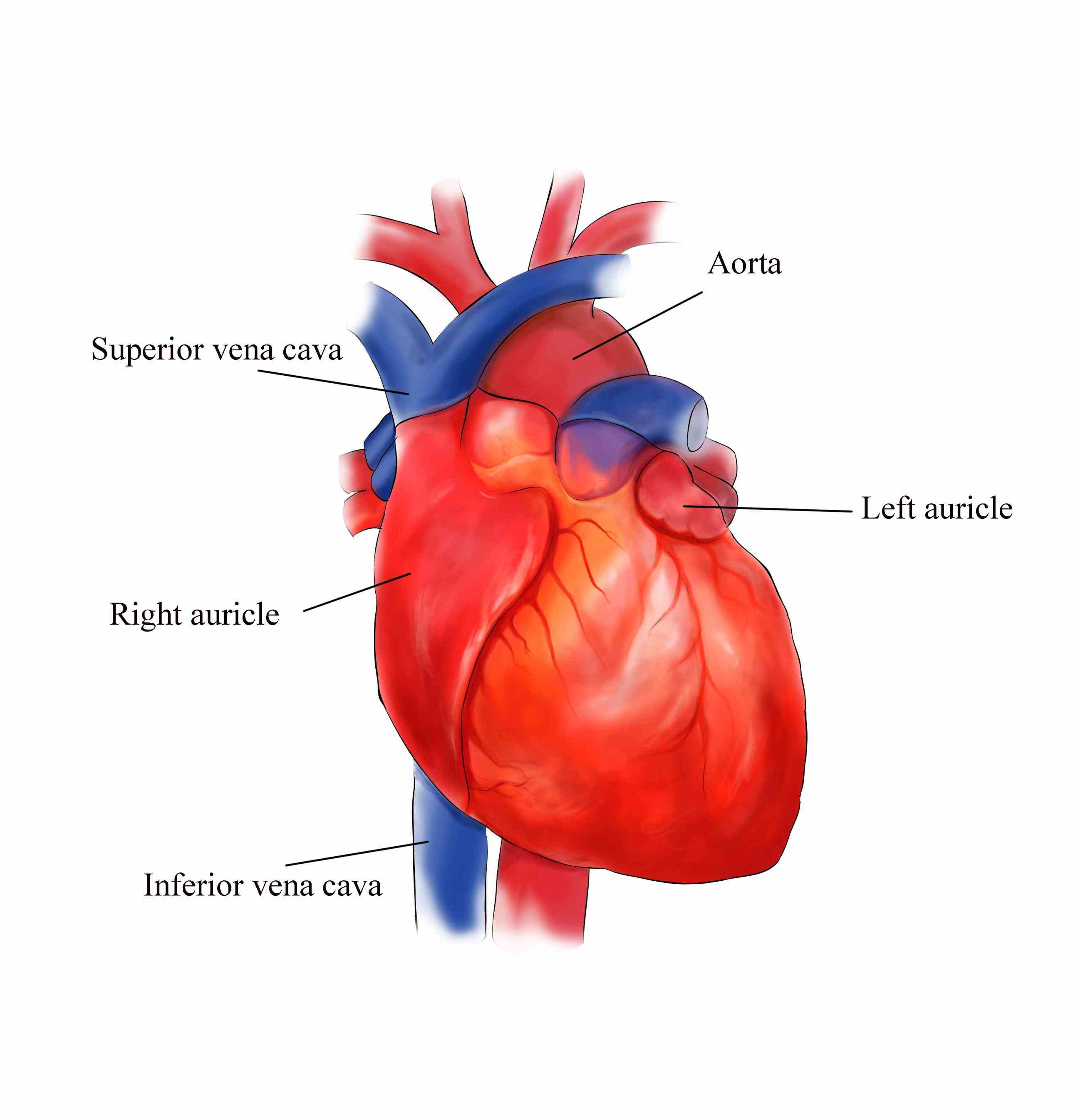 external heart diagram power outlet wiring structure of anatomy medicinebtg