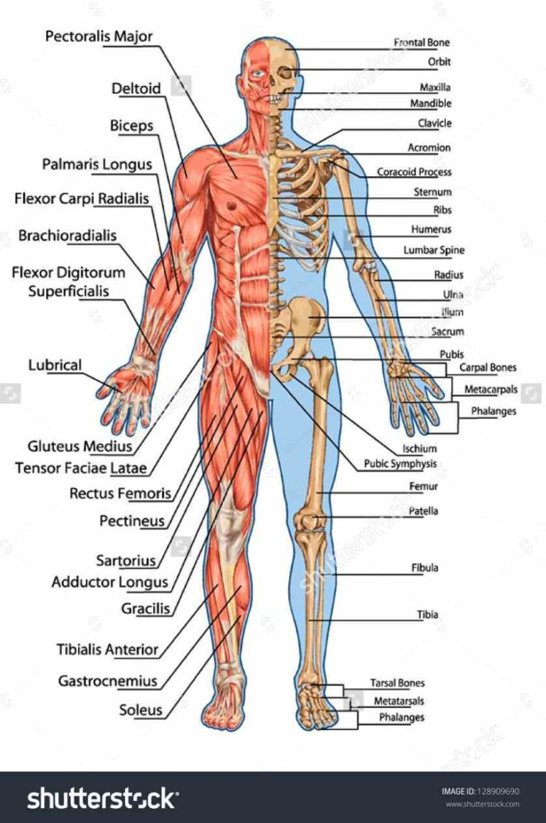 skeletal system anterior view diagram holden colorado radio wiring loading...