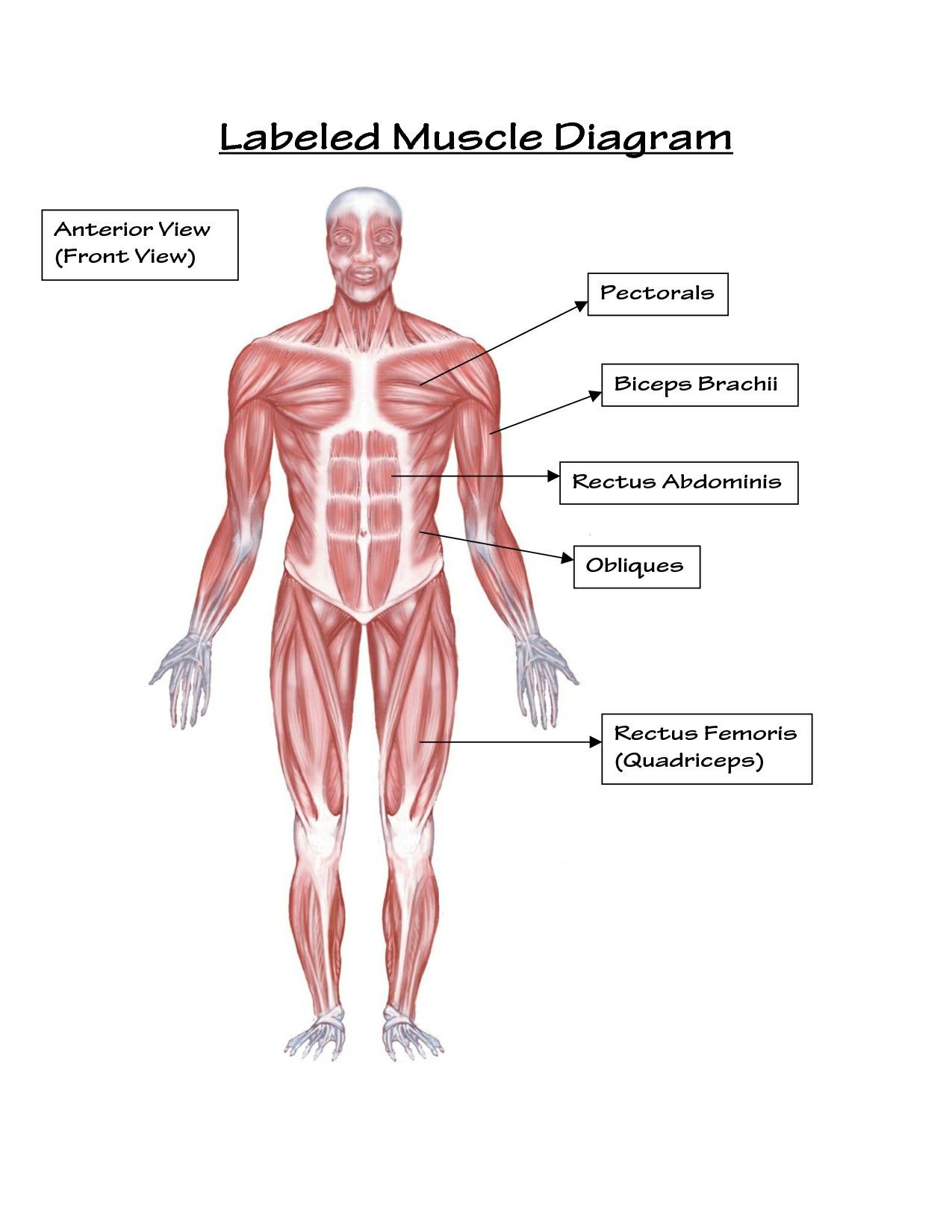 Labeled Body Muscle Diagram Simple Labeled Muscle Diagram