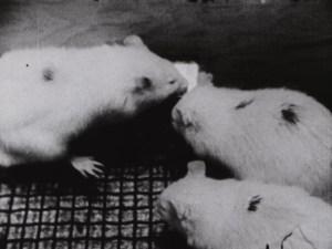Three rats eating food