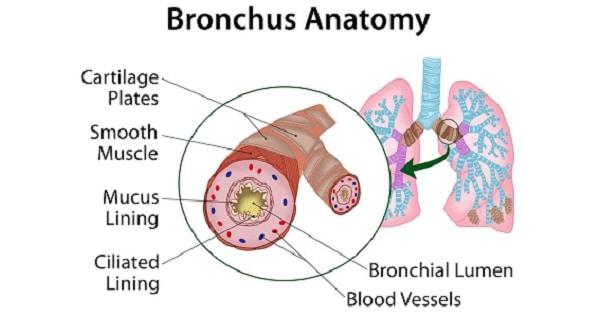 Extrapulmonary & Intrapulmonary Bronchus - www.medicoapps.org