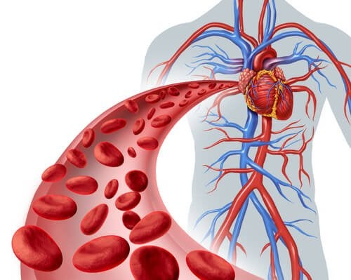 El flujo de sangre a través del corazón: