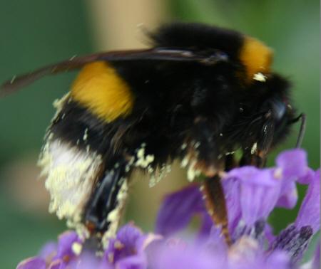 Bestubung von Blten durch Insekten  MedienwerkstattWissen  20062017 Medienwerkstatt