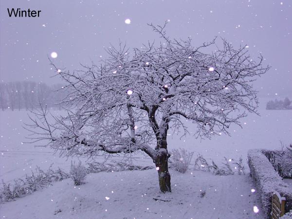 Ein Kirschbaum im Jahresverlauf  Fotos  Medienwerkstatt