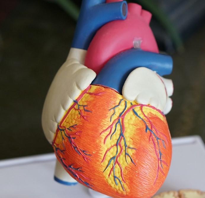 Plastic model of the heart