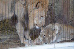 A pair of lions at the Lincoln Park Zoo. While the numbers of lions in the wild has dropped dramatically in recent years, the population of captive bred lions in American zoos is thriving.