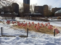 A flock of flamingos looks out of place on a cold day at the Lincoln Park Zoo in Chicago, showing just how far from their natural habitats some of the species are. Transportation and the logistics of breeding animals is a major challenge for the Population Management Center.