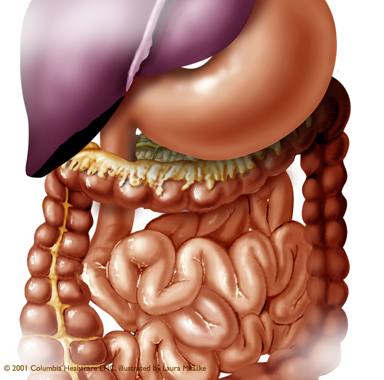 medical illustrations of abdominal organs & digestive system; stomach, Human Body