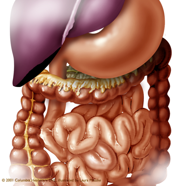 Abdominal organs medical illustration - Digestive System