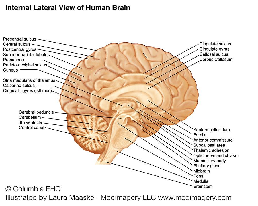 brainstem: pons & medulla