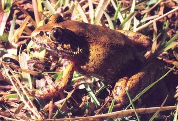 Astylosternus nganhanus