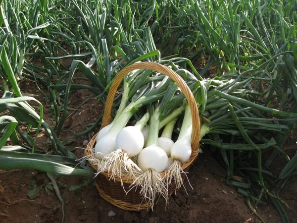 Cómo plantar cebollas. Ficha completa e
