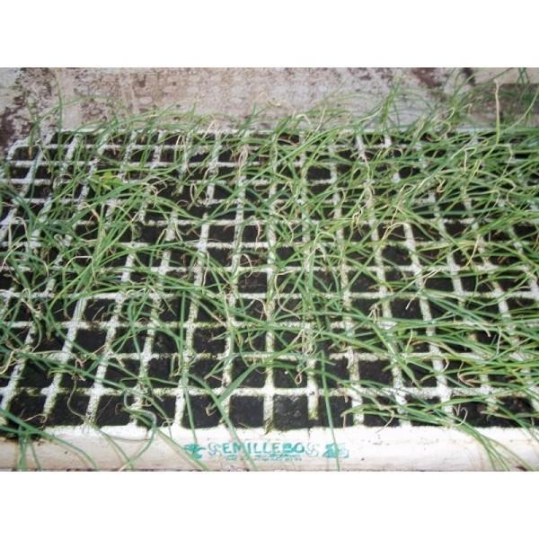 Cómo plantar cebolletas. Ficha completa d