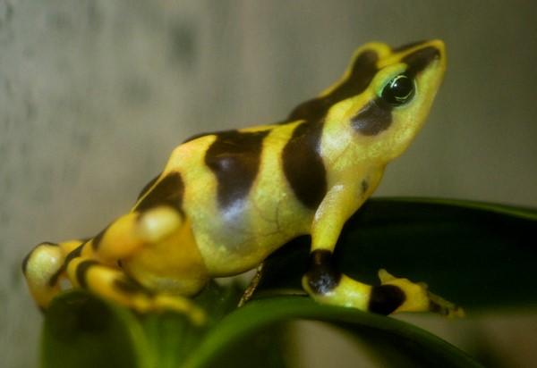 Ranita amarilla venezolana o Atelopus carbonerensis