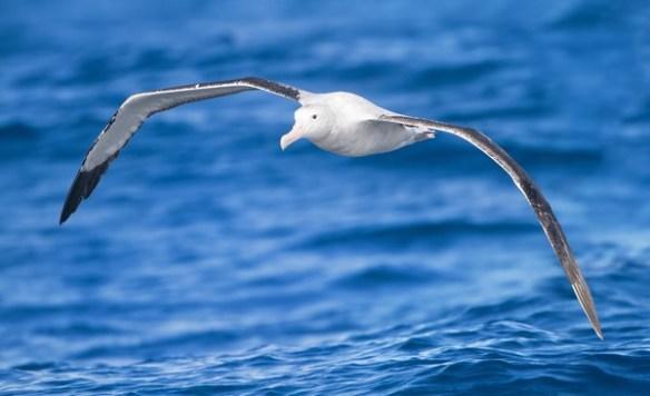 Albatros de Ámsterdam b