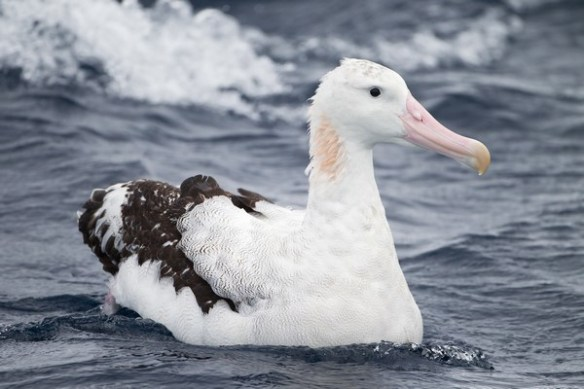 Albatros de Ámsterdam