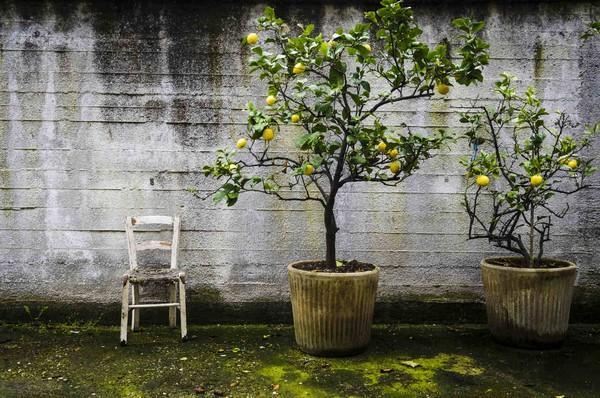 Cómo plantar limones. Ficha completa g