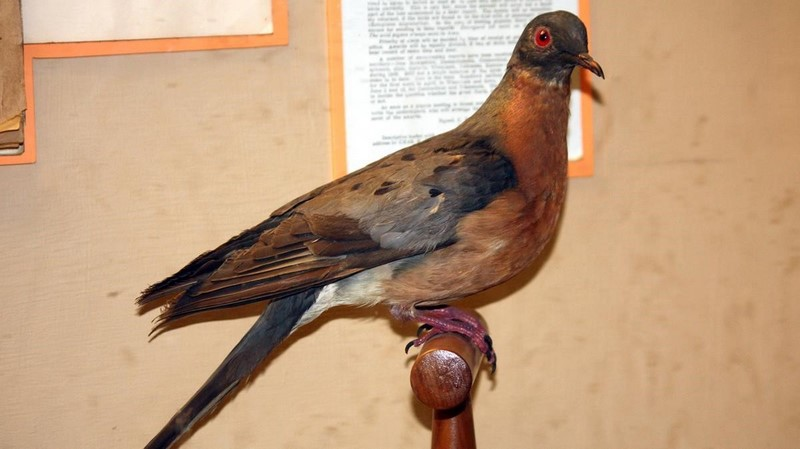 Paloma migratoria