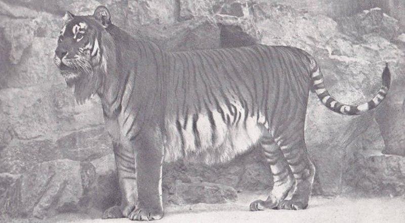 Tigre de Caspio