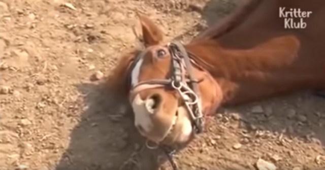 Jingang, el caballo que finge estar muerto para impedir que lo monten