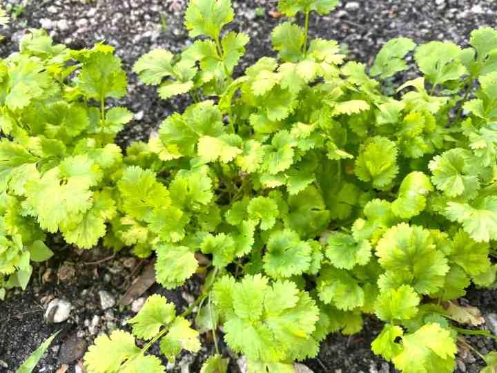 Planted cilantro
