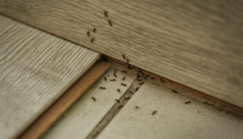 Many black ants on floor at home. Pest control