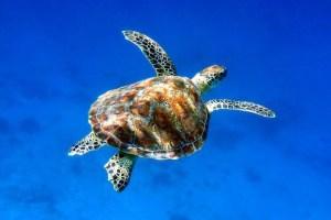 Kas turtle 01