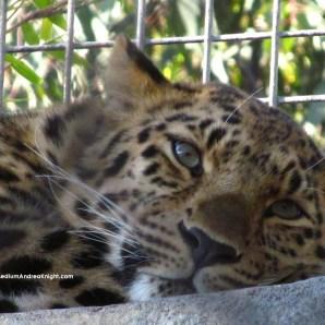 sd amur leopard