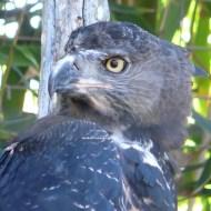 sd eagle