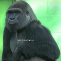 sd gorilla 5