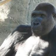 sd gorilla