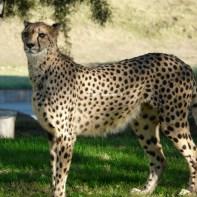 sd safari cheetah 2