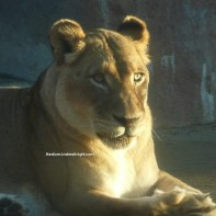 sd safari lion