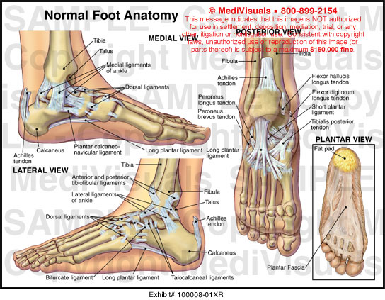 medial lower leg muscles diagram 3 way outlet wiring of and ankle www toyskids co medivisuals normal foot anatomy exhibits ligaments