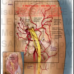 Vascular Anatomy Diagram Lower Vw Lupo Stereo Wiring Medivisuals Right Hip Medical Illustration 604089 01a