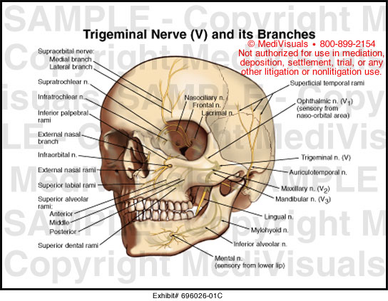 ear nose and throat diagram visio uml deployment trigeminal nerve (v) its brances medical illustration medivisuals