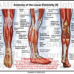 Human Muscles Diagram Labeled Front And Back 2 Wire Thermostat Wiring Anatomy Of The Lower Extremity (ii) Medivisuals Medical Illustration