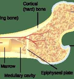 spongy bone diagram [ 2000 x 1000 Pixel ]