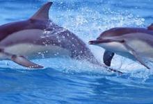 Photo of Nevjerovatni prizori s Korčule: Delfini priredili pravi spektakl
