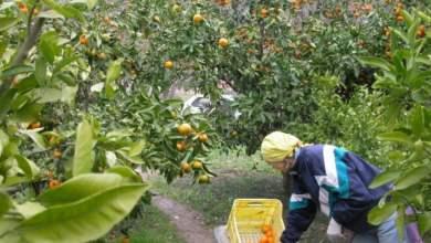 Photo of Krenula berba mandarina. Urod manji, kvaliteta odlična, cijene obećavajuće