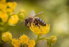 Photo of Rezultati studije:Pčelinji otrov uništava stanice raka dojke