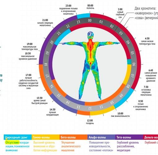 Реферат - Генетический механизм «биологических часов», регулирующий цикл сна и бодрствования