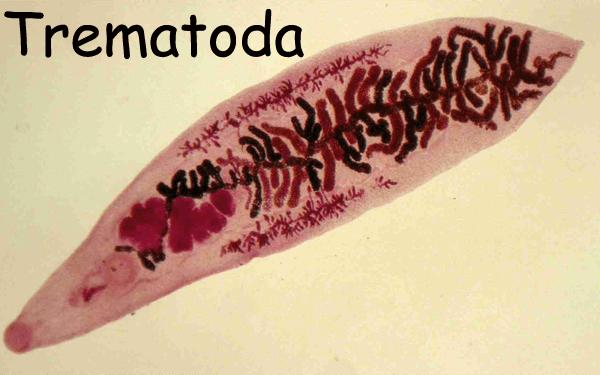 helmintele purtate de sol și schistosomiaza vermiplant ceai