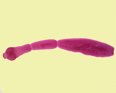 cacing echinococcus granulosus dewasa