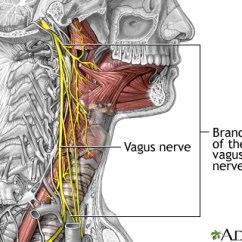 Vagus Nerve Diagram Of Summer And Winter Solstice Role The In Epilepsy Medlineplus Medical