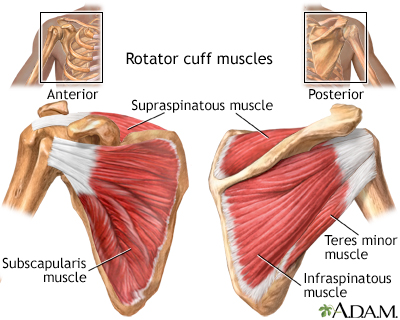 Image result for rotator cuff muscles