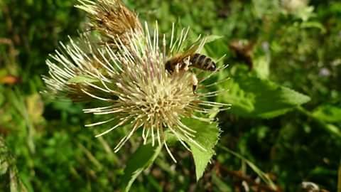 Medonosno bilje-Zeljasti Osjak/Prsljenasta zalfija(kadulja)