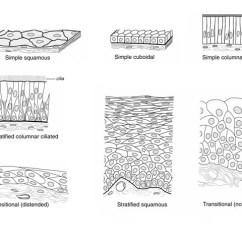 Stratified Columnar Epithelium Diagram Kubota G2160 Wiring Medpics Ucsd School Of Medicine Epithelial Types